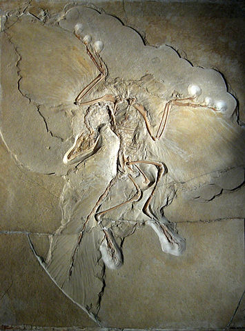 000-Archaeopteryx_lithographica_Berlin_specimen